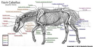 Horse Skeleton Study by TheDragonofDoom