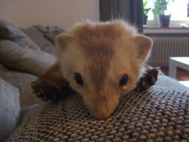 Sunbleached Marten Soft Mount SOLD by DeerfishTaxidermy