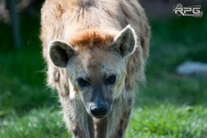 Hyena by RPG-Photography