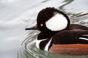 Hooded Merganser 4 by MorrighanGW