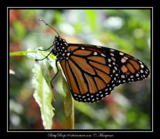 Monarch by MarquessaPhotography