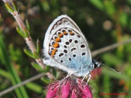 Silver-studded Blue (male) by Terrydunk