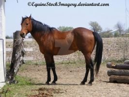 Quarter Horse 39 by EquineStockImagery