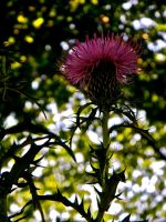 Thistle In the Shadows by TropicalxLondon