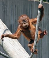 Baby Orangutan Hanging Out by maximumgravity1