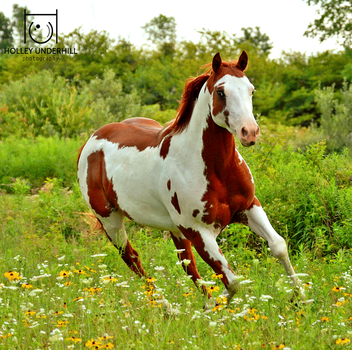 A gallop among the flowers. by ThunderhillPaints