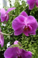 PurplePink Orchids by bluepaws21