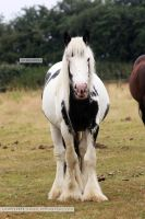 Gypsy Cob Stallion Stock 1 by s-uperflu0us
