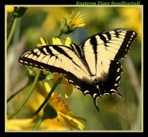 Eastern Tiger Swallowtail by boron