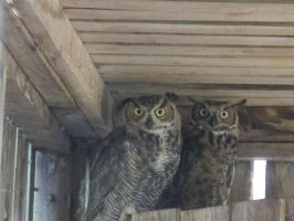 Young Great Horned Owls 8 by Windthin