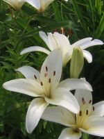 white lillies 01 by CotyStock