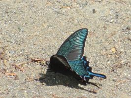 Chinese/Japanese Swallowtail by gayemotears