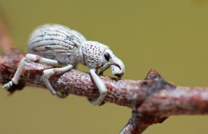 White Weevil 2 by Monkeystyle3000