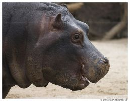 Baby Hippo Smile by TVD-Photography