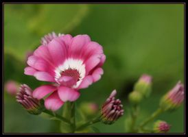 Pink Cineraria. by Firey-Sunset
