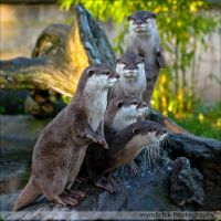The Otters 0828d by mym8rick