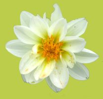 white flower on lime by Kerbi-stock