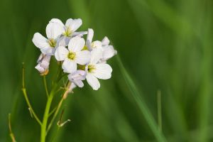 6512 - White flowers by Jay-Co