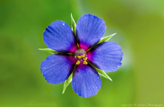 blue flower by lindahabiba