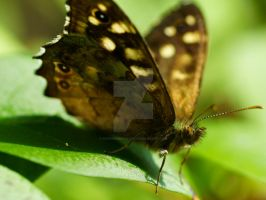 speckled wood butterfly by Hyperborean1987