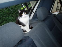 Cat in a car by kate44