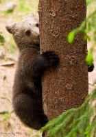 Brown Bear Cub by PictureByPali