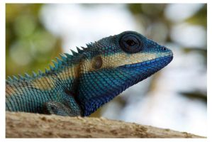Blue Crested Lizard by kiew1