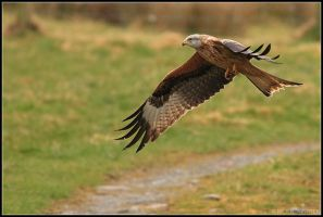 Gigrin Farm - Red Kite IV by nitsch