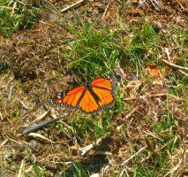 Monarch Butterfly by pikagirlgoescrazy