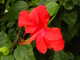 Red Hibiscus by RiverKpocc