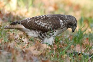 Red Tail Hawk 2 by bovey-photo