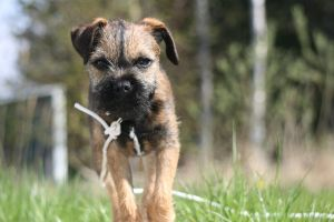 My dog, Border Terrier by Eternity12