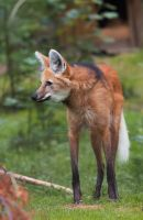 Maned Wolf. by Ravenith
