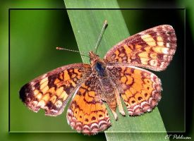 Pearl Crescent v2 by CTP