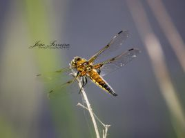 Golden dragonfly by JoaoPhotography