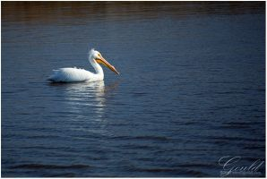 The White Pelican by ThisWomanWanders