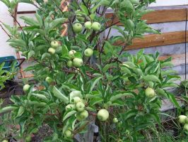 Apple Tree with young apples by dtf-stock
