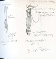 Muscles - Brachialis and Biceps Brachii - O.I.N. by Mismatching-Socks