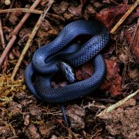 Red-bellied Black Snake (Pseudechis porphyriacus) by CouchyCreature