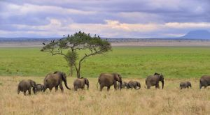 african elephents by laogephoto
