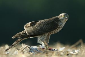 Sparrowhawk by Fresnay