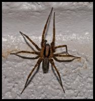Hobo Spider by Bear78