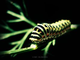 Papilio machaon by ivya-cz