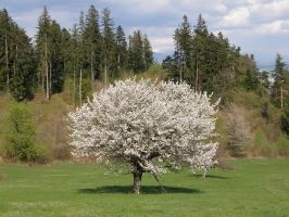 BB35 - Cherry tree by Gwathiell