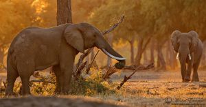 Elephants of Mana Pools by MorkelErasmus