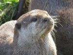 Otter Face by jessieo-photography
