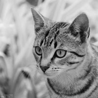 cat in grey by Wilithin