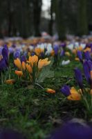 Crocus III by Tripholiada