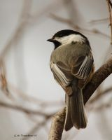 Ah my little Chickadee by natureguy