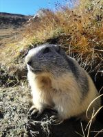 Marmot by Honeymoustache